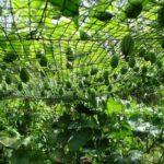 Выращивание Мелотрии для декорирования беседок и изгородей