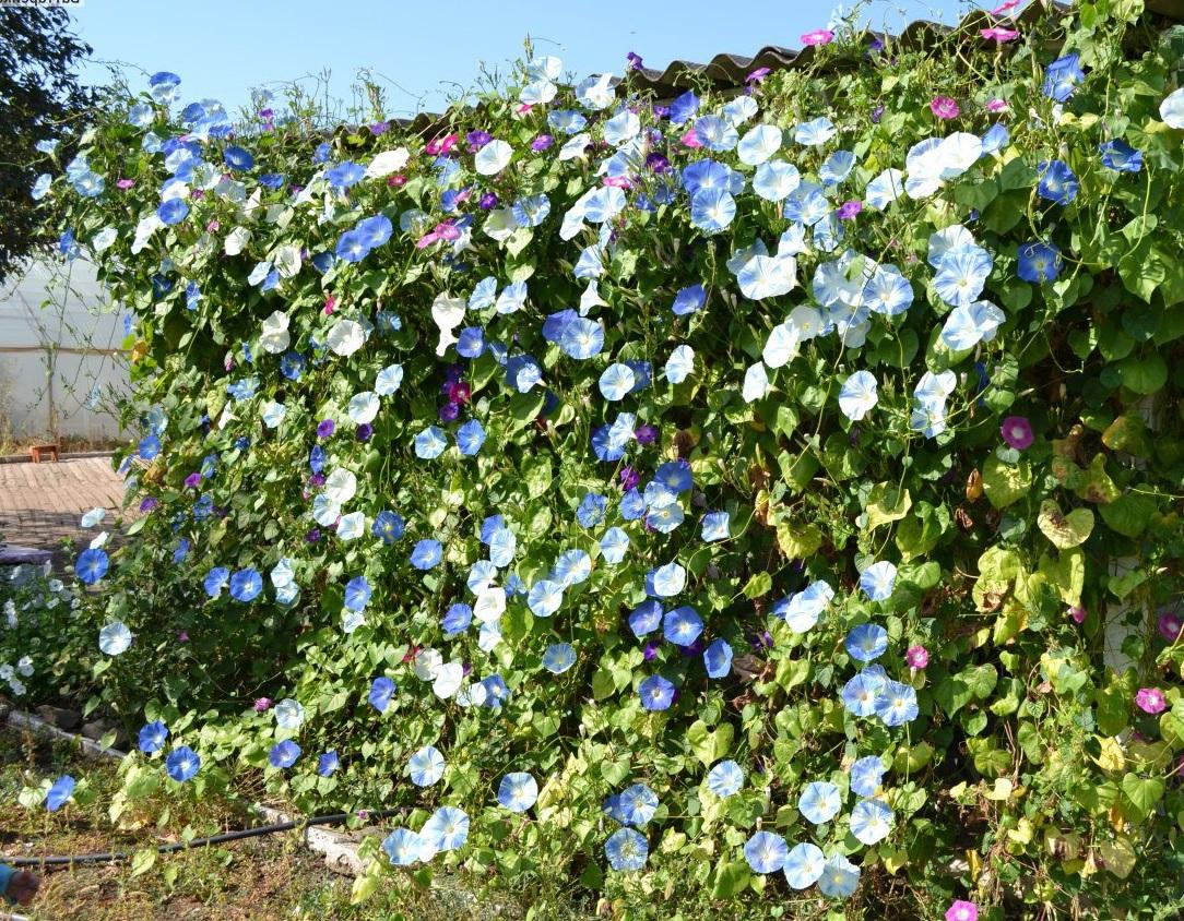Однолетняя травянистая лиана ипомея голубая